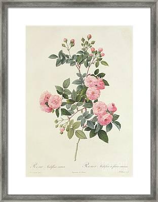 Rosa Multiflora Carnea Framed Print by Pierre Joseph Redoute
