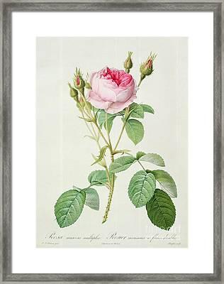 Rosa Muscosa Multiplex Framed Print by Pierre Joseph Redoute