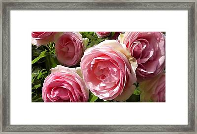 Rosa Pierre De Ronsard Framed Print by Lanjee Chee