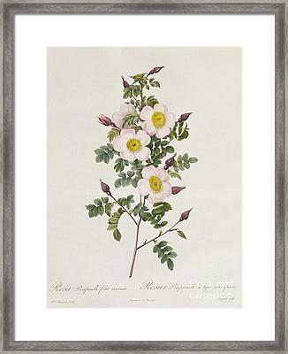 Rosa Pimpinelli Folia Inermis Framed Print