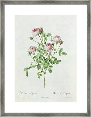 Rosa Pomponia Framed Print by Henri Joseph Redoute