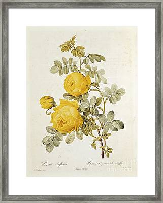 Rosa Sulfurea Framed Print by Pierre Redoute