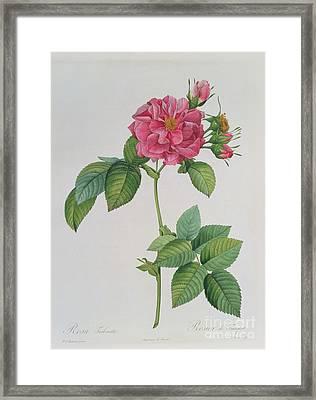 Rosa Turbinata Framed Print