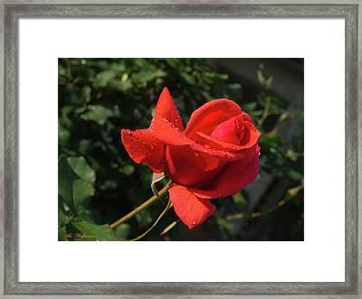 Rose 03 Framed Print by Arik Baltinester
