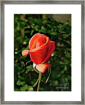 Rose 04 Framed Print by Arik Baltinester