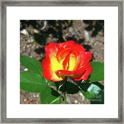 Rose 07 Framed Print by Arik Baltinester