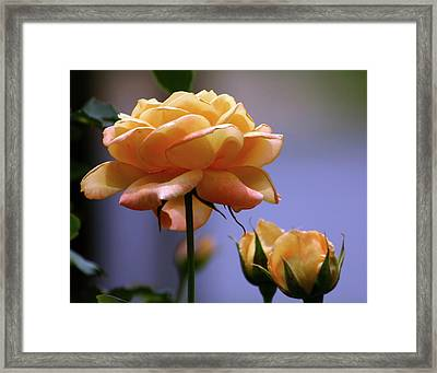 Rose 1156 H_2 Framed Print
