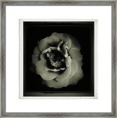 Rose 12 Framed Print