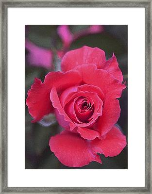 Rose 160 Framed Print by Pamela Cooper
