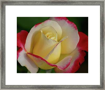 Rose 3913 Framed Print