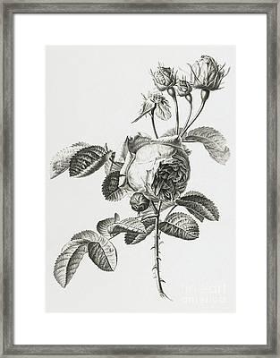 Rose A Cent Feuilles Framed Print by Gerard van Spaendonck