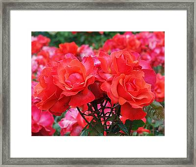 Rose Abundance Framed Print by Rona Black
