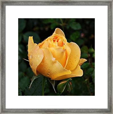 Rose After The Rain Framed Print by Cathie Tyler