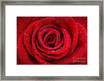Rose And Drops Framed Print by Carlos Caetano