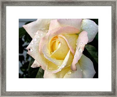Rose And Raindrops Framed Print