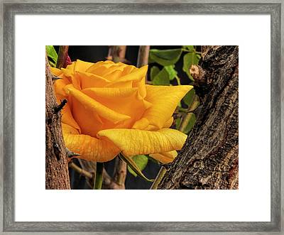 Rose And Thorns Framed Print