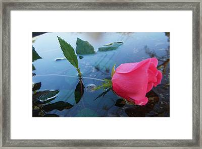 Rose And Water. Framed Print by Nereida Slesarchik Cedeno Wilcoxon