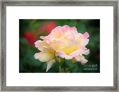 Rose Beauty Framed Print