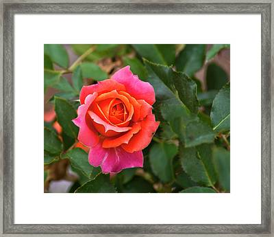 Framed Print featuring the photograph Rose by Bill Barber