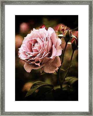 Rose Blooms At Dusk Framed Print by Jessica Jenney