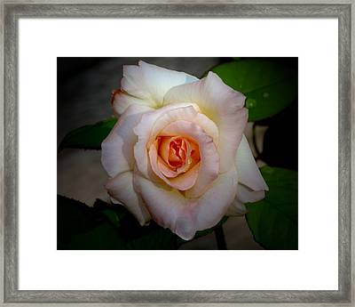 Rose Blushing After Rain Framed Print by B Nelson