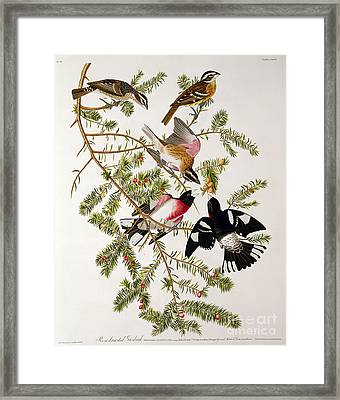 Rose Breasted Grosbeak Framed Print by John James Audubon