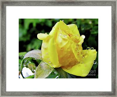 Rose Bud Dew Drops Framed Print