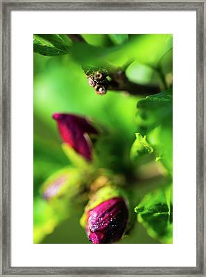 Rose Buds Body Guard Framed Print