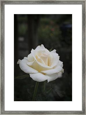Rose Framed Print by Christina Durity