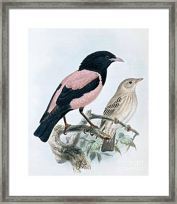 Rose Colored Starling Framed Print