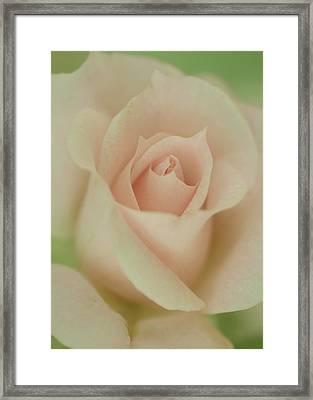 Rose Du Jardin Framed Print