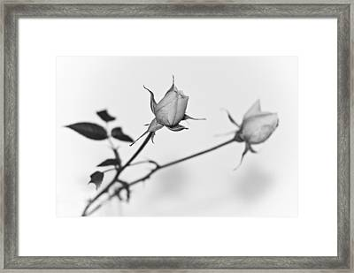 Rose Duo Framed Print by Ryan Kelly
