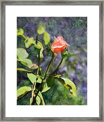 Rose Elegance Art Framed Print by Sherry  Curry