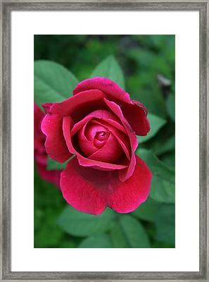 Rose Eye Framed Print by Alan Rutherford