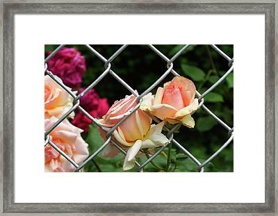Rose Fence Framed Print