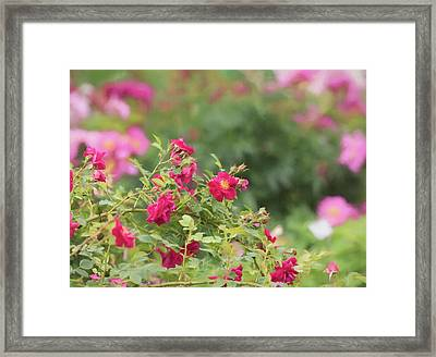 Framed Print featuring the photograph Rose Garden Promise by Kim Hojnacki