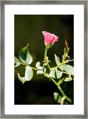 Rose Framed Print