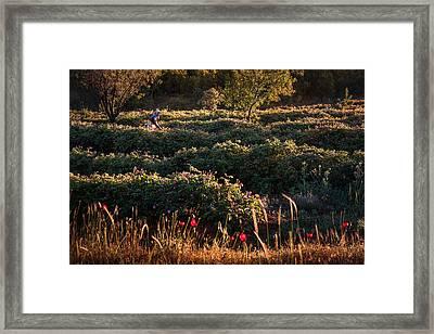 Rose Harvest Framed Print