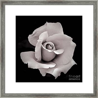 Rose Framed Print by Hitendra SINKAR