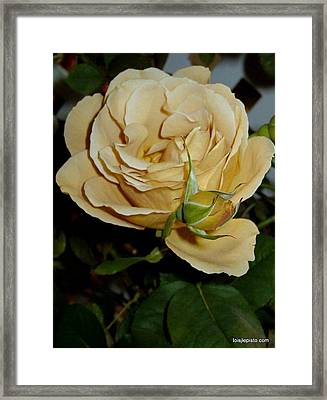 Framed Print featuring the photograph Rose In Ecru by Lois Lepisto