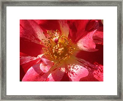 Rose In Pink Framed Print by Alfred Ng