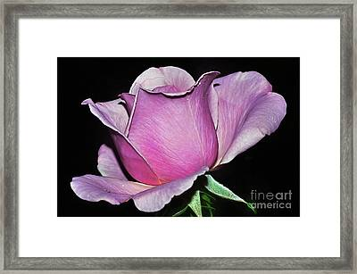 Rose In Pink And Mauve Framed Print