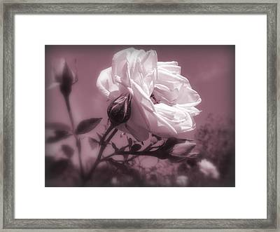 Rose In Rose Framed Print by Susan Lafleur