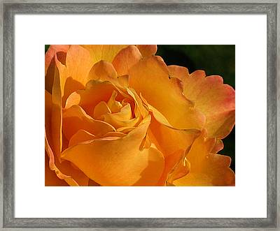 Rose In Ruffles Framed Print by Mg Blackstock