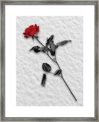 Rose In Snow Framed Print