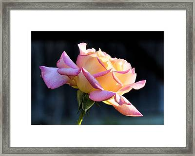 Rose In Sunshine Framed Print