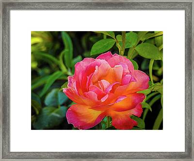 Rose In The Evening Framed Print