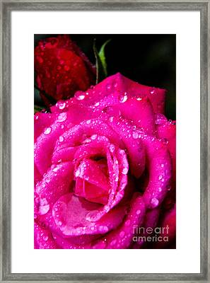 Rose In The Rain Framed Print by Thomas R Fletcher