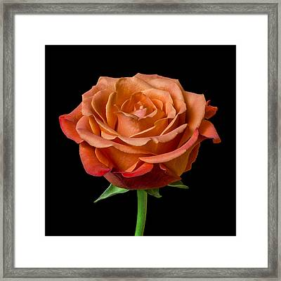 Rose Framed Print by Jim Hughes
