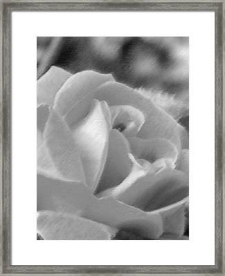 Rose Framed Print by John Bradburn